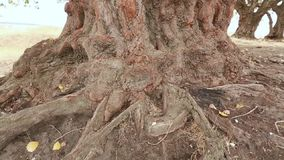 Old aspen tree trunk, roots and branches. A big old poplar tree with an impressive trunk stock footage