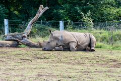 Rhino on the ground royalty free stock image