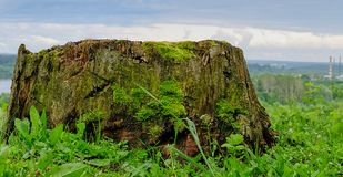 Big old rotten stump surrounded by grass covered by moss. City on the background Stock Image