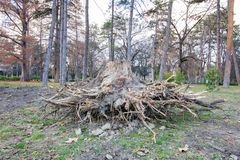 Big old rotten wooden stump of tree trunk pulled out from the ground with roots after strong wind of the storm.  stock photos