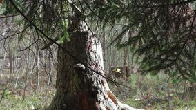 Big, old stump in autumn forest close-up stock video footage