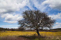 Big old tree. An old tree above a yellow flowers field stock image