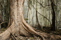 Big old tree. Inside a grungy room Royalty Free Stock Image
