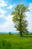 Big old tree Royalty Free Stock Photography