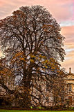 Big old tree in Cambridge Royalty Free Stock Photography