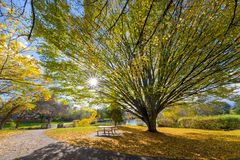 Big Old Tree at Commonwealth Lake Park in Beaverton. Oregon with sun star burst during fall season Stock Photos