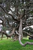 Big old tree with crazy branches .hanging roots low level branch.wierd tree. A big old tree with crazy branches with roots hanging , on the grassland in the royalty free stock images