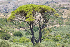 Big old tree on Crete Stock Photos