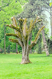 Big old tree with cutted spread branches, green vegetation, close up Royalty Free Stock Photo
