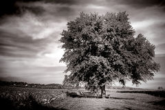 Big Old Tree in Farm Field in Rural Countryside Stock Images