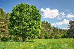 Big old tree in the forest Stock Image
