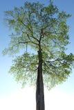 big old tree in khao kho thailand Royalty Free Stock Photography