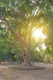Big old tree. Royalty Free Stock Image