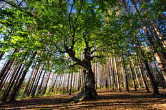 Big old tree Stock Photography