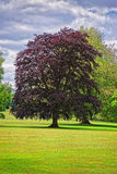 Big old tree with red leaves in Park of Audley Royalty Free Stock Images