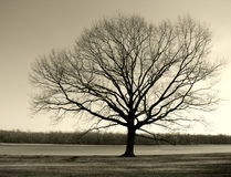 Big Old Tree by the River in Winter. Bare and lonely big old tree with no leaves on meadow at a river bank in winter Stock Image