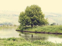 Big old tree on a riverbank. Royalty Free Stock Photo