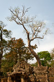 Big old tree in Ta Prohm Temple Stock Photography
