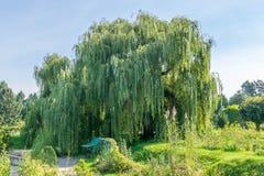 Big old tree willow in the garden. Big old tree willow in the Hryshko National Botanical Garden in Kiev, Ukraine stock photo