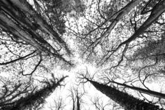 Big old trees against the sky. Big old trees - black and white royalty free stock photos