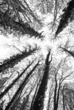 Big old trees against the sky. Big old trees - black and white stock photos