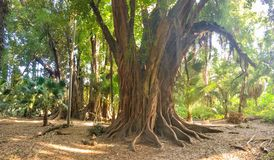 Big and old trees in Botanical Garden of Hamma in Algiers. Big and old trees in Botanical Garden of Hamma in Algiers royalty free stock photo
