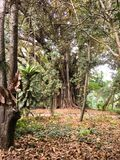 Big and old trees in Botanical Garden of Hamma in Algiers. Big and old trees in Botanical Garden of Hamma in Algiers royalty free stock photos