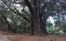 Big and old trees in Botanical Garden of Hamma in Algiers. Big and old trees in Botanical Garden of Hamma in Algiers stock image