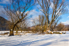 Big old trees in winter forest Royalty Free Stock Photo