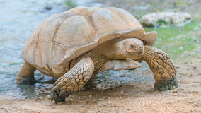 Big old turtle. Live in Asia just finish swimming royalty free stock photography