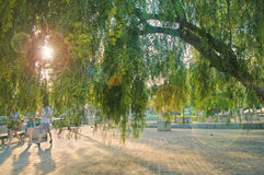 Big old willow tree in city park at sunset Stock Photography