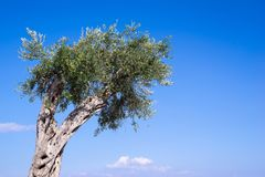 Big olive tree with fruits Stock Photo