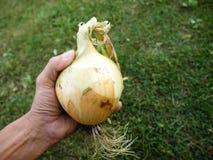 Big onion Royalty Free Stock Photography