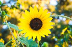 Big open sunflower with yellow petals in a perfect circle stock image