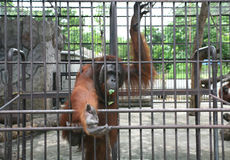 Big orang-utan in zoo Stock Images