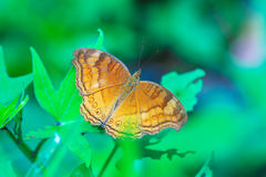 Big Orange Butterfly, Bali Royalty Free Stock Photo