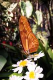 Big orange butterfly with beautiful wings in a tropical flower garden royalty free stock images