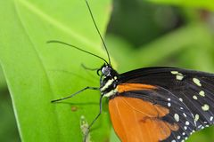 Big orange butterfly on green leaf, danaus chrysippus.  stock photo