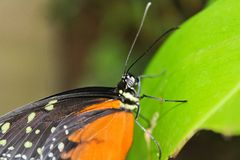 Big orange butterfly on green leaf, danaus chrysippus, macro photo.  royalty free stock images