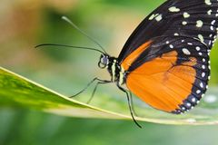 Big orange butterfly on leaf, danaus chrysippus.  royalty free stock photography