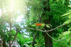 Big orange butterfly in the wild. Big orange butterfly sitting on green branch with sunlight royalty free stock image