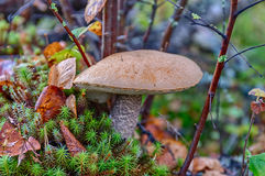 Big orange-cap boletus Royalty Free Stock Image