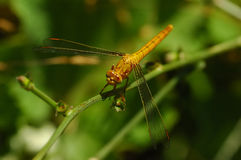 Big orange dragonfly. On thin branch Stock Image