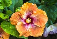 Big Orange Flower Royalty Free Stock Photography