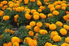 Big orange flower heads of marigold. Big orange flower heads of Mexican marigold Royalty Free Stock Photography