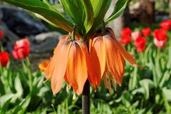 Big orange fritillary flower in garden Stock Photo