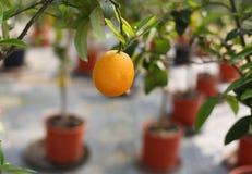 Big orange fruit on the tree Stock Photo