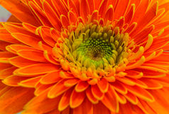 Big Orange Gerbera Stock Photo