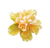 A big orange hibiscus isolated Royalty Free Stock Images