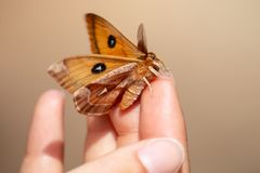 The male Tau Emperor Aglia tau orange butterfly in hand stock photography